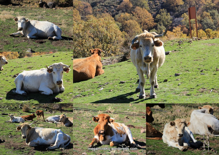 collage vacas dehesa del camarate