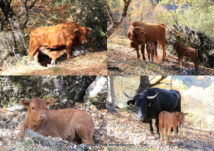 collage vacas y ternero dehesa del camarate